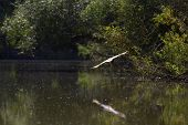 night heron (nycticorax nycticorax) on a branch