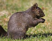 Black Squirrel Eating Seed