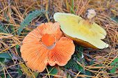 image of yellow milk cap  - Saffron milk cap and penny bun mushroom in the forest among an autumn grass - JPG