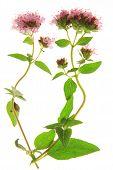 Flowering oregano (Origanum vulgare)