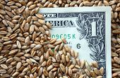 One Dollar Banknote Among Wheat Grains