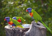 Sunset Lorikeet