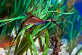 underwater image of sea dragon