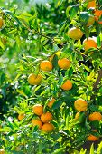 orange trees with fruits on plantation
