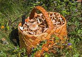 Birchbark Basket Full Of Mushrooms On The Grass In The Forest