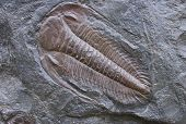 image of paleozoic  - fossilized Trilobite in stone on a gray background - JPG