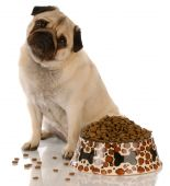 Pug Sitting At Food Dish