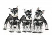 stock photo of schnauzer  - Adorable and Cute Baby Miniature Schnauzer Puppy Dog on White - JPG