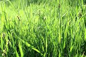 Green grass with dew in the morning
