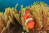 Clown Anemonefish in Anemone underwater in ocean