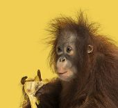 Close-up of a young Bornean orangutan eating a banana, Pongo pygmaeus, 18 months old, on a yellow ba