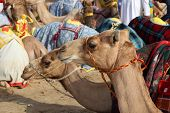 Racing Camels In Doha
