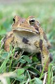 image of wart  - A brown spotted toad in the grass - JPG
