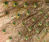 Close-up shot of a peacock's feathers