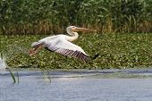 Great Pelican In Flight At Musura Bay