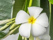 White   Plumeria Flower (frangipani Flowers, Frangipani, Pagoda Tree Or Temple Tree)