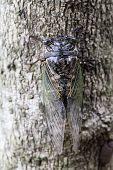 cicada holding on a tree