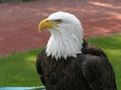Bald Eagle Facing Left