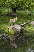 Fox Standing on a Rock with Reflection