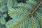 Abstract Close-up Of Conifer Tree Needles And Branches
