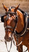 stock photo of blinders  - Head of brown horse with blinders and harness - JPG