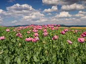 pic of opium  - Opium Poppy field in full bloom Germany - JPG