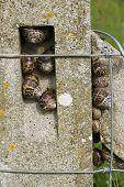 Garden Snails, Helix Aspersa, Group Nestling On A Concrete Post, Macro.