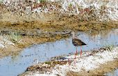 stock photo of snipe  - Steepe birds play important role in steepe region