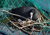 Eurasian female coot duck, fulica atra, brooding nest
