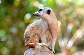 Meerkat sitting on a rock.