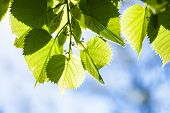 picture of lime-blossom  - Bright green leaves and tiny flower buds of the lime tree in the sunshine - JPG