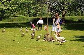 Woman feeding Canada geese, Oxford.