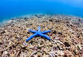 image of biodiversity  - Single blue star fish on a heavily damaged tropical coral reef - JPG