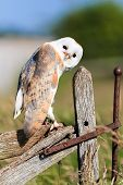 stock photo of nocturnal animal  - Barl owl looks curiously from an old wooden fence - JPG