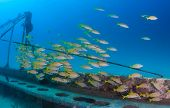Shoal Of Fish Around A Wreck