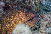 Large Moray Eel