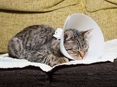 Sleeping Cat With An Elizabethan Collar