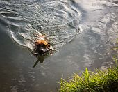 a boxer pit bull mix swimming in a pond with a stick, making ripples in the water