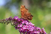foto of butterfly-bush  - Comma Butterfly feeding on butterfly bush in afternoon sun  - JPG