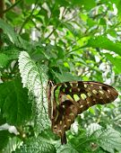 Graphium Agamemnon Or Tailed Jay Butterfly