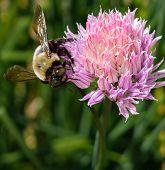 Bee On Onion Flower