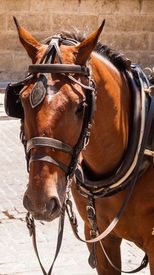 foto of workhorses  - Head of brown horse with blinders and harness - JPG