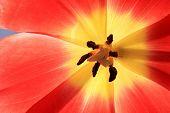 Red exposed tulip.