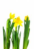 Daffodil Flower Or Narcissus Bouquet Isolated On White Background Macro. Spring Flowers