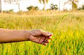 The Man Hand With Organic Rice.