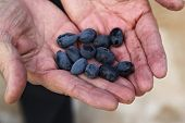 pic of kalamata olives  - black kalamata olives freshly picked by famer - JPG