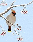 waxwing and rowanberries