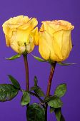 Yellow Rose Floral Arrangement