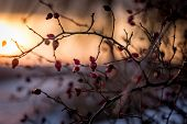 Rose-hip in the flood of winter sunset