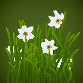 Spring flowers, white narcissuses and green grass